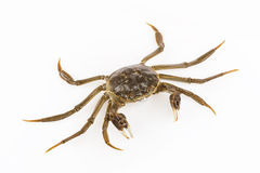 Cyan living crab Royalty Free Stock Image