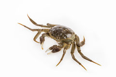 Cyan living hairy crab Stock Image