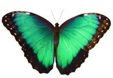 Cyan motyl odizolowywający na białym tle z rozciągniętymi skrzydłami Zdjęcie Royalty Free