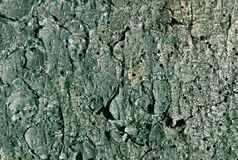 cyan toned pine tree bark pattern. Stock Photography