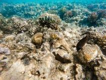 Cyanea χταποδιών χταποδιών σκοπέλων στην κοραλλιογενή ύφαλο στοκ εικόνες με δικαίωμα ελεύθερης χρήσης