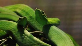 Cyanea Boiga зеленой змейки Стоковые Фотографии RF