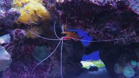 Cyanea Chrysiptera и кораллы, креветка крови огня сток-видео
