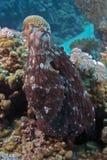 Cyanea de poulpe Photographie stock libre de droits