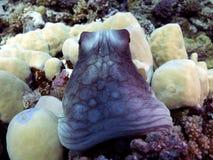 Cyanea de poulpe photo libre de droits