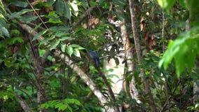Cyanea del Passerina del pájaro del empavesado de añil que se sienta en rama de árbol almacen de metraje de vídeo