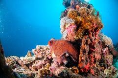 Cyanea del pulpo del día en el coral en Gili, Lombok, Nusa Tenggara Barat, foto subacuática de Indonesia Imagen de archivo libre de regalías