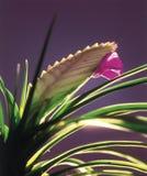 Cyanea/orquídea del Tillandsia Fotografía de archivo