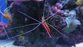Cyanea van de garnalenchrysiptera van Lysmatadebelius, koralen stock video
