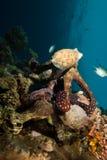 cyaneus章鱼礁石 免版税库存图片