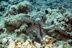 cyaneus章鱼礁石 图库摄影