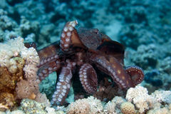 cyaneus章鱼礁石 免版税图库摄影