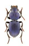 cyaneuspachycarus Royaltyfri Bild