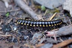 Cyanide Millipdede 03. Black with yellow stripes, Cyanide Millipede, creeping and crawling on the ground royalty free stock images