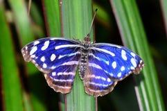 Cyaniris Bluewing butterfly Royalty Free Stock Photo