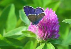 Cyaniris semiargus 一只蝴蝶的男性在花的 图库摄影