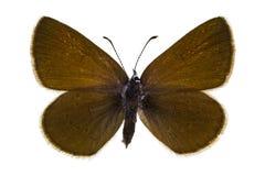 Cyaniris semiargus. Dorsal view of Cyaniris semiargus (Mazarine Blue) butterfly isolated on white background stock photos