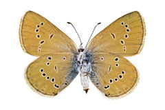 Cyaniris semiargus. Ventral view of Cyaniris semiargus (Mazarine Blue) butterfly isolated on white background stock photo