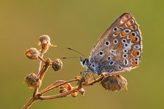 Cyaniris semiargus rott Royalty Free Stock Photo
