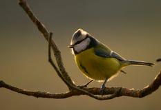 蓝冠山雀,山雀,山雀Cyanistes 库存照片