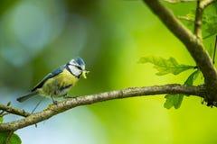 Cyanistes caeruleus 野生生物 E 美好的照片 自由本质 从鸟生活 春天 蓝色鸟 图库摄影