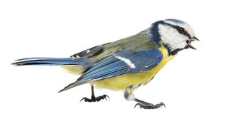 一只吹哨的蓝冠山雀的侧视图, Cyanistes caeruleus 免版税库存照片