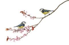 吹口哨在一个开花的分支, Cyanistes caeruleus的两只蓝冠山雀 免版税图库摄影