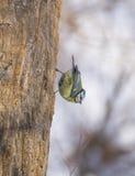 Cyanistes-caeruleus Stockfotografie
