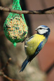 Cyanistes caeruleus. Blue titmouse flew to the feeder dish Royalty Free Stock Photography