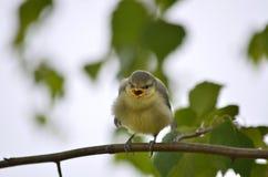 Cyanistes caeruleus. Little nestling Eurasian blue tit. Sits on a branch. Fauna of Ukraine royalty free stock photography