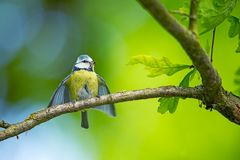 Cyanistes caeruleus. Wildlife. Wild nature of Czech. Beautiful picture. Free nature. From bird life. Spring. Blue bird. stock images