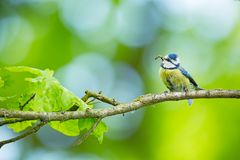 Cyanistes caeruleus. Wildlife. Wild nature of Czech. Beautiful picture. Free nature. From bird life. Spring. Blue bird. royalty free stock photography