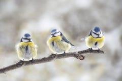 Cyanistes för tre mesar för eurasian som blåa caeruleus tillsammans sitter Fotografering för Bildbyråer