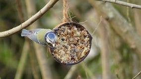 Cyanistescaeruleus - het Europees-Aziatische Blauwe mees voeden van een kokosnoot royalty-vrije stock foto