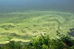 Cyanobacteria na superfície da água Fotos de Stock