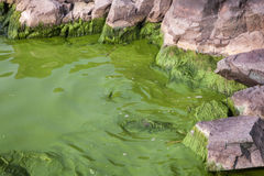 Cyanobacteria in Taihu lake stock images