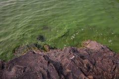 Cyanobacteria in Taihu lake. Serious pollution in China's Taihu Lake Cyanobacteria stock images
