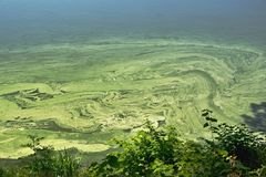 Cyanobacteria on the water surface. Water surface of the pond contaminated with cyanobacteria stock photos