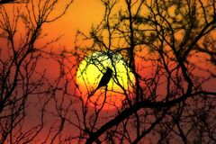 Cyanocitta cristata di tramonto Immagini Stock Libere da Diritti