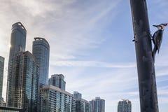 Cyanocitta cristata a Toronto Fotografia Stock Libera da Diritti