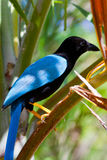 Cyanocorax yucatanicus Royalty Free Stock Photography