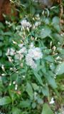 Cyanthillium-cinereum blüht, Ironweed, Vernonia-cinereum Lizenzfreie Stockfotos