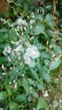 Cyanthillium-cinereum blüht, Ironweed, Vernonia-cinereum Lizenzfreies Stockbild