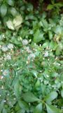 Cyanthillium-cinereum blüht, Ironweed, Vernonia-cinereum Stockfoto