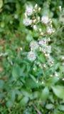 Cyanthillium-cinereum blüht, Ironweed, Vernonia-cinereum Lizenzfreie Stockbilder