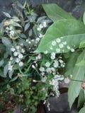 Cyanthillium-cinereum blüht, Ironweed, Vernonia-cinereum Stockfotos