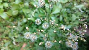 Cyanthillium cinereum flowers , ironweed , Vernonia cinereum Stock Photos