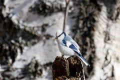 Cyanus azul de Cyanistes del tit en rama de árbol imágenes de archivo libres de regalías
