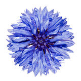 Cyanus bleu simple de Centaurea de Cornflower d'isolement Images libres de droits