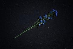 Cyanus Centaurea ιατρικών εγκαταστάσεων, που είναι γνωστό συνήθως ως cornflower σε ένα μαύρο λαμπρό υπόβαθρο Στοκ Εικόνες